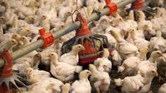 Iowa bird-flu farms fall short on containment measures