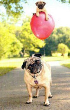 Pug on a balloon