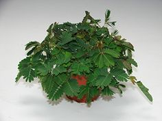 Sensitive Plant Gift - Reacts to your touch - Delights both Children and Adults - Delivery Start of December or Before - Ideal small gift for Birthday's, Christmas, Thank you's - Indoor Houseplant - Easy to care for plant - Fun Plant to own - Mimosa Pudica (1): Amazon.co.uk: Kitchen & Home