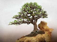 ☼☼How do you like this cute #bonsai tree?☼●       #BonsaiInspiration