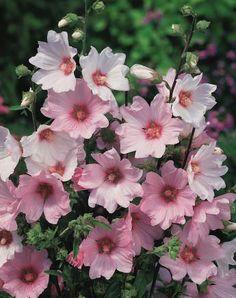 Lavatera 'Barnsley' groeit snel ,volle zon hoogte 150cm geeft veel bloem