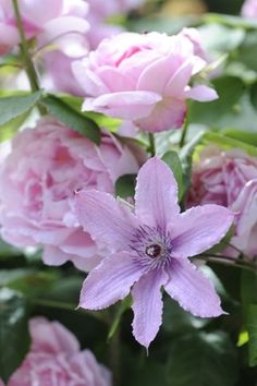One of the best plant pairings - roses and clematis - the clematis will trail up the roses