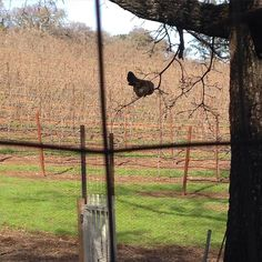 So much for our fence lol. Our smallest chicken Road Runner just jumps right over it  #sicilianbuttercup #chicken #chickie #chickens #chicky #chickensofinstagram #napa #napavalley #vineyard #VisitNapaValley #farm #farmlife #fence by justinluiz707