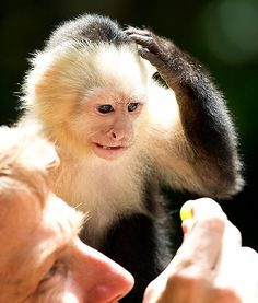 At Miami's private zoo, Jungle Island in Florida, a young capuchin monkey is seen scratching its head. So cute!