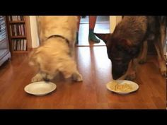 This Golden Retriever Totally Destroys A German Shepherd In A Spaghetti-Eating Contest