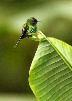 Bee Hummingbird. The tiniest bird species on the planet.