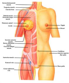 Intro to Anatomy Tissues, Membranes, Organs - Freethought Forum Human Organ Diagram, Body Organs Diagram, Human Body Organs, Human Body Anatomy, Therapeutic Grade Essential Oils, Medical Assistant, Anatomy Reference, Hair And Nails, Sexy Dresses