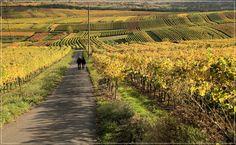 ... vineyard walk ...
