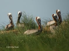 Where are all the Pelicans? | OBX Connection Message Board