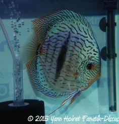 Napoli Aquatica 2015 discus heckel cross 2nd Open