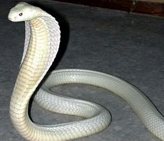 White king Cobra....A rare subspecies of cobra, the white cobra is only known to exist in the Hollow World nation of Shahjapur.