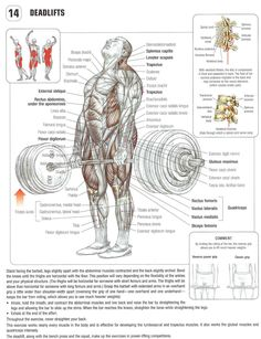 Training Anatomy Back Deadlifts Tutorial Of Strength Training Anatomy For Gain Your Muscle Anatomy Back, Muscle Anatomy, Preparation Physique, Academia Fitness, Workout Routine For Men, Shoulder Workout, Transformation Body, Fitness Nutrition, Weight Training