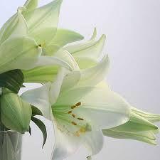 Bildergebnis für lilie