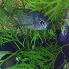 Baby whale is doing a poor job hiding from everyone today he always looks happy though #happy #babywhale #mormyrid #fish #plantedtank #aquarium #fishtank #freshwater #freshwaterfishtank #oddball #oddballfish #monsterfish #cute #hiding #hideandsmile #smiles #littlefish #babywhalemormyrid by fishywishies