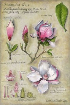 Flowers Gallery - Botanical Artist & Illustrator, Learn Drawing Art Books, Art Supplies, Workshops Collection of botanical floral illustrations by Wendy Hollender. Botanical Flowers, Botanical Prints, Art Floral, Watercolor Flowers, Watercolor Art, Illustration Botanique Vintage, Vintage Botanical Illustration, Floral Illustrations, Impressions Botaniques