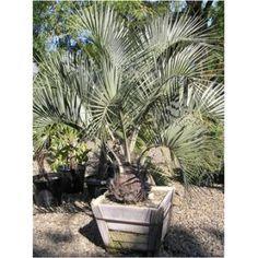 http://www.athelasplants.co.uk/palm-trees-c17/butia-capitata-jelly-palm-p8