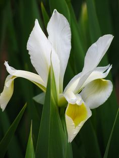 """White Beauty"" Dutch Iris"