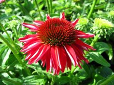 "Echinacea ""Sombrero Salsa Red"""