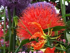 Gloriosa rothschildiana with #Scadoxus #multiflorus #flower