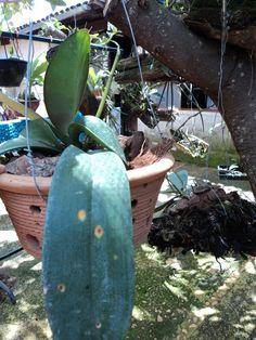 Manchas circulares em tons de castanhos ou marrom (inclusive com bordas amareladas) ou anéis avermelhados nas folhas de orquídeas , p...