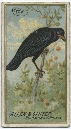Crow cigarette card (front)         (ca. 1885-1895)   via NYPL