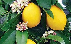 Οι λόγοι που ευθύνονται για την αδυναμία καρπόδεσης στη λεμονιά.
