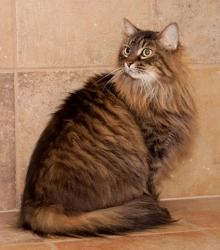 Maine coon, Maine coon cats and Maine on Pinterest