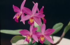 Lc. Pink Favourite 'Hawaii' (Laelia milleri x C. walkeriana)