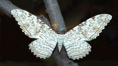 """rhamphotheca: """" White Witch Moth (Thysania agrippina) … a large moth in the family Noctuidae. Also called Birdwing Moth, Ghost Moth, Great Grey Witch, and Great Owlet Moth. Black Witch Moth, White Witch, Beautiful Bugs, Beautiful Butterflies, Large Moth, Colorful Moths, Atlas Moth, Butterflies"""