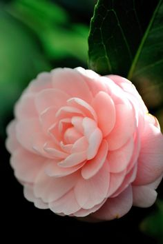 The Japanese camellia