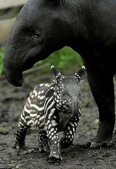 Mom and baby Tapir.