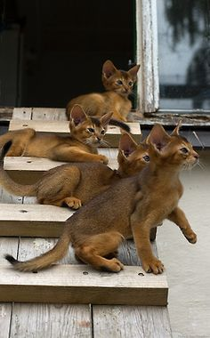"""Cannot see a photo of Abyssinians without my mind putting the word """"darling"""" in front."""