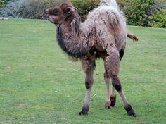 Olaf the camal calf