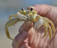 Ghost Crab Hunting in the Outer Banks