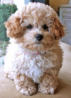Apricot poodle baby
