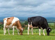 Gado Leiteiro, Cute Cows, Cattle, Dairy, Earth, Life On The Farm, Farmer, Plantation Houses, Cows
