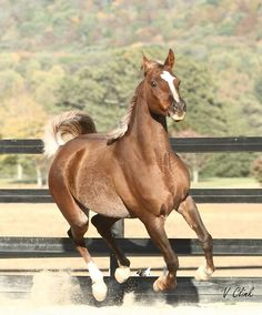 Nellys Rose Thee Infidel x Nelly Bee 2001 Chestnut Straight Egyptian Mare