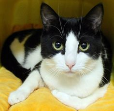 OUT OF TIME!!  NAME: Oreo  ANIMAL ID: 21022451 BREED: DSH  SEX: Spayed Female  EST. AGE: 1 yr  Est Weight: 9.5 lbs Health:  Temperament: friendly-  ADDITIONAL INFO: O/S  RESCUE PULL FEE: $39