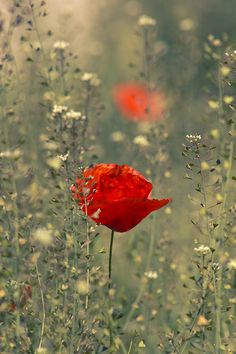 I LOVE poppies! What a happy flower! Meadow Garden, Red Poppies, Belle Photo, Color Splash, Mother Nature, Flower Art, Planting Flowers, Beautiful Flowers, White Flowers