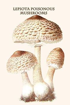 Armillaria mellea is a plant pathogen and a species of Honey fungus. It causes Armillaria root rot in many plant species. The mushrooms are edible but some people may be intolerant to them. The fungus