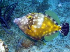 White Spotted File Fish, Grand Cayman