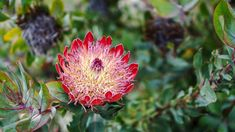 Pin cushion at Kirstenbosch Botanical Gardens (via thecoconutrace.com)