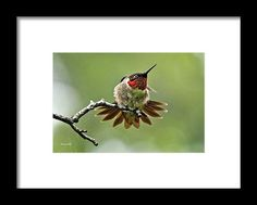 Ruby-throated Velocity Framed Print by Christina Rollo.  All framed prints are professionally printed, framed, assembled, and shipped…