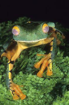 ☆ Splendid Leaf Frog, Agalychnis calcarifer :¦: Gail Melville Shumway Photography ☆
