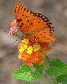 Orange #butterfly