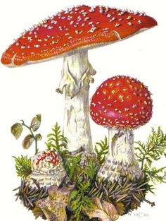 Amanita Muscaria Original Vintage Offset Lithograph You are in the right place about Decoupage servilletas Here we offer you the most beautiful pictures about the Decoupage pictures you are looking fo Mushroom Art, Mushroom Fungi, Botanical Drawings, Botanical Prints, Vintage Images, Vintage Art, Photo D Art, Vintage Flowers, Vintage Colors
