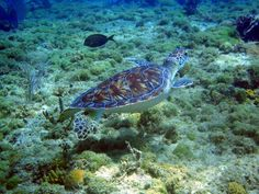 Beautiful sea turtle in Sosa Bay, DO Diving, Turtle, Sea, Animals, Beautiful, Turtles, Animales, Scuba Diving, Animaux