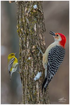 Pine Warbler and Red-Bellied Woodpecker