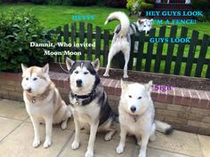 Visit link above to view our fabulous Husky gifts collection. Visit link above to view our fabulous Husky gifts collection. Animals And Pets, Baby Animals, Funny Animals, Cute Animals, Le Husky, Husky Puppy, Husky Meme, Funny Husky, Cute Puppies