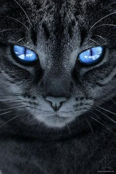 I love cats! cat with blue eyes and gray fur . beautiful and very loved with . - I love cats! cat with blue eyes and gray fur … beautiful and very loved like everyone else! Pretty Cats, Beautiful Cats, Animals Beautiful, Gorgeous Eyes, Amazing Eyes, I Love Cats, Crazy Cats, Cool Cats, Baby Animals